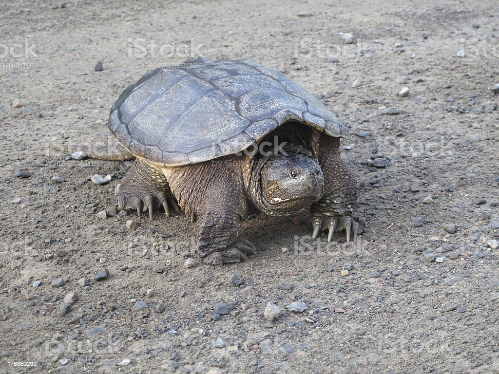 Common snapping turtle walking on dirt road stock photo