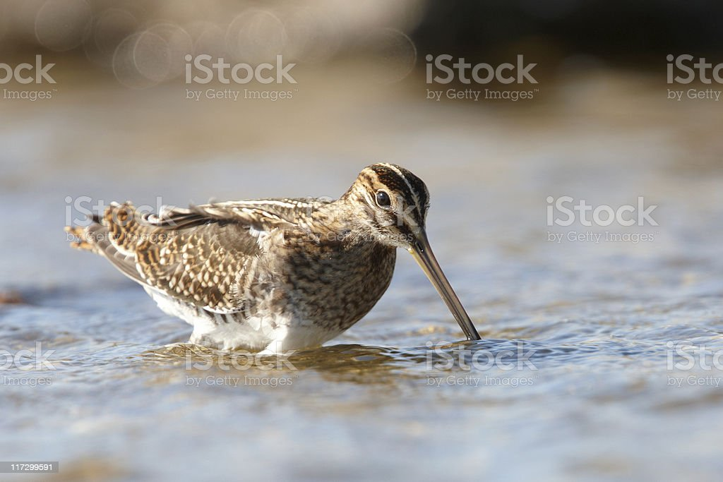 Common Snipe feeding in shallow water stock photo