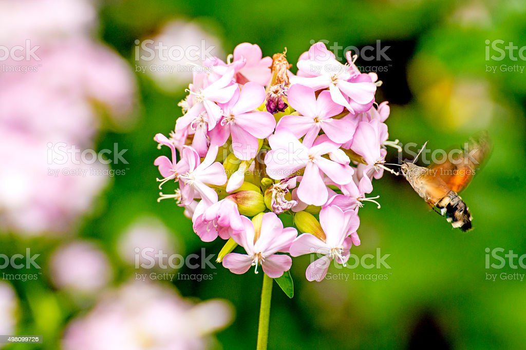Common soapwort with Hummingbird hawk-moth stock photo