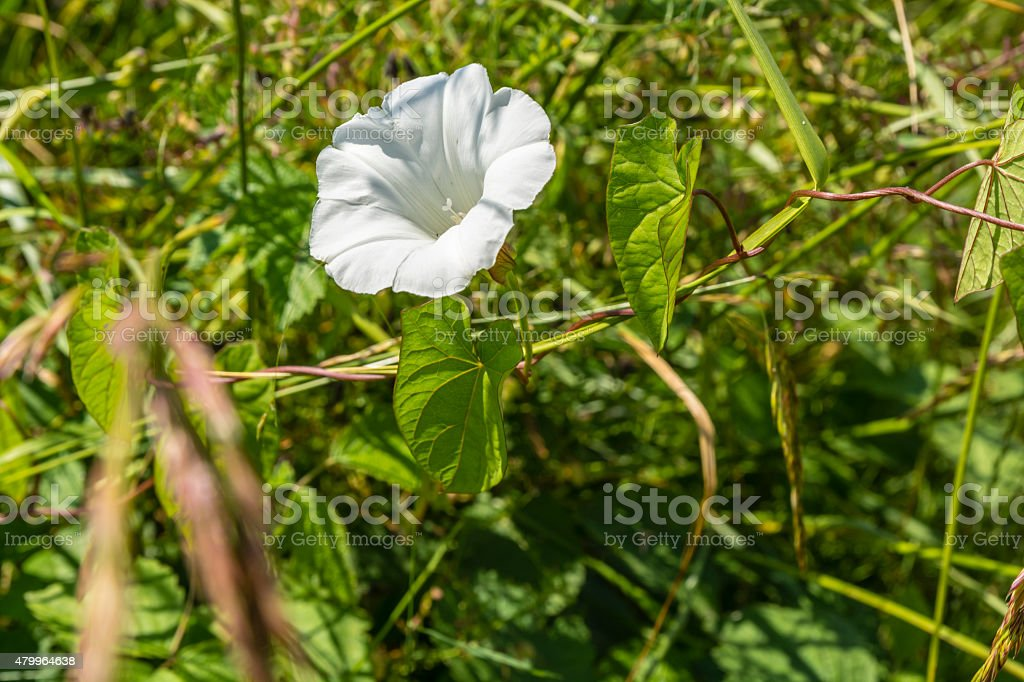 Common species of perennial plants stock photo