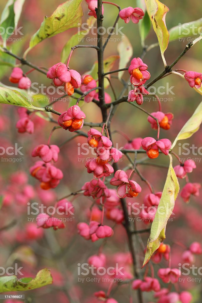 Common Spindle (Euonymus europaeus) royalty-free stock photo