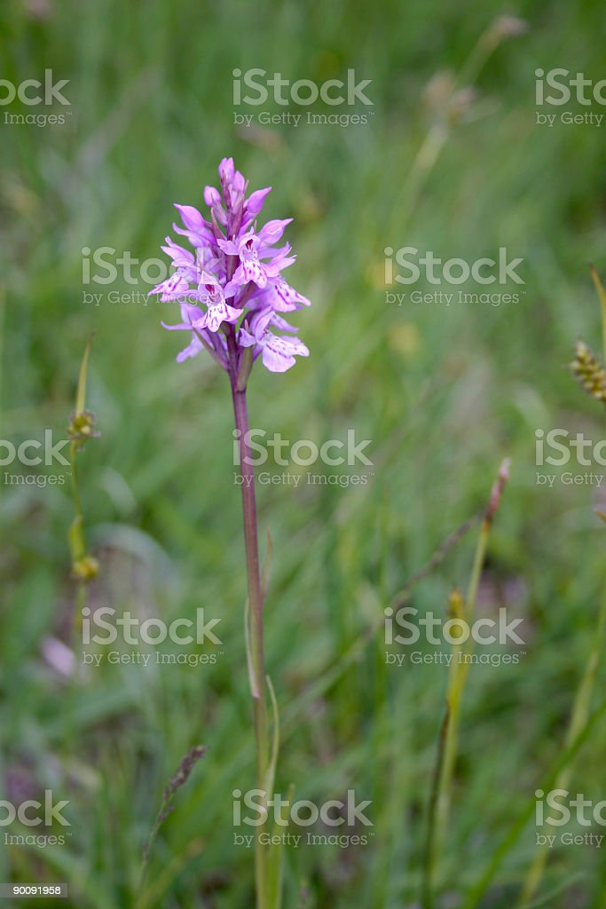 Common Spotted Orchid royalty-free stock photo