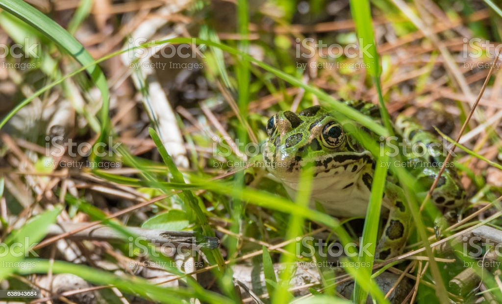 Common spotty green Northern leopard frog hiding in grass. stock photo