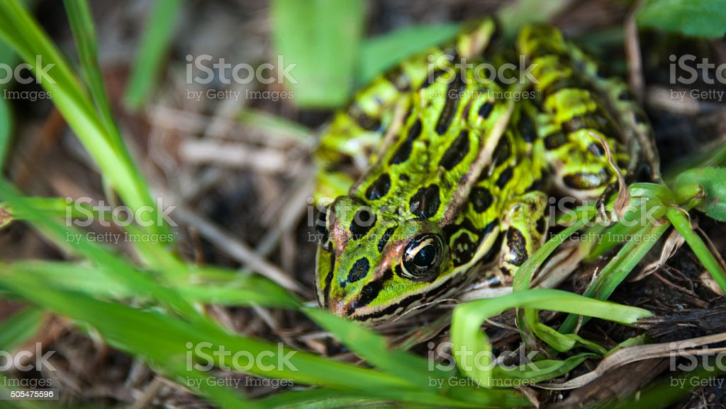 Common spotty green Northern leopard frog. stock photo