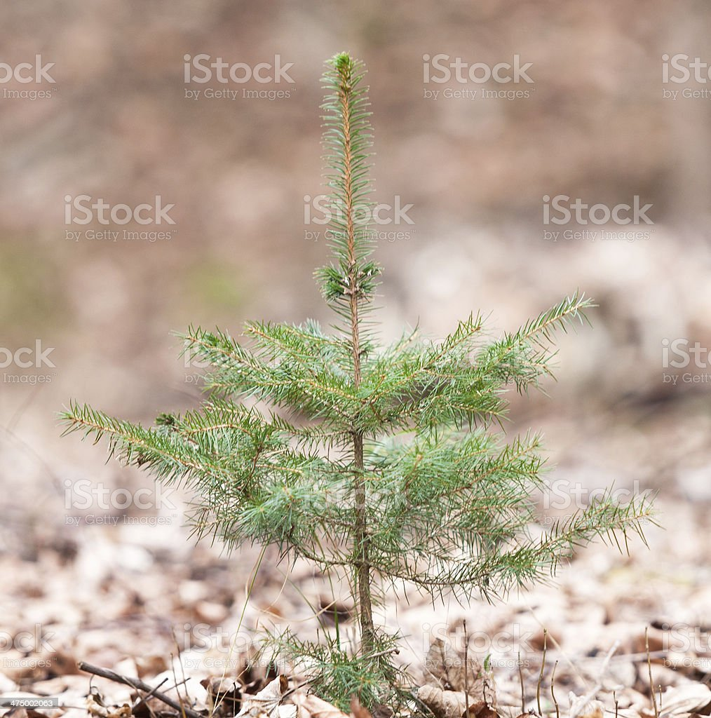 common spruce in the forest royalty-free stock photo