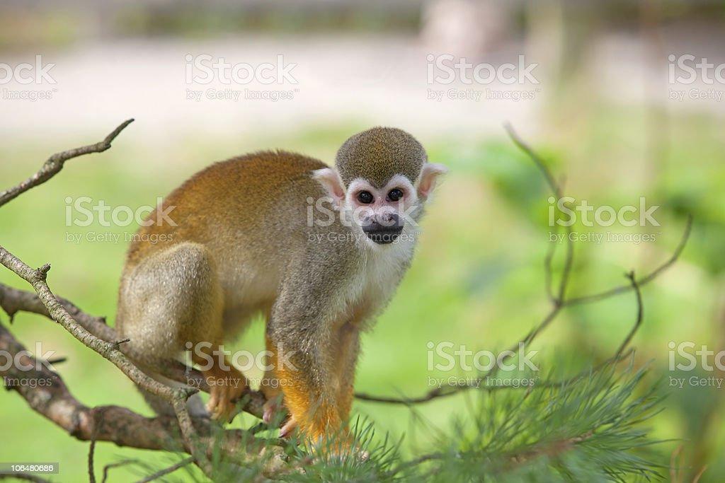 Common squirrel monkey royalty-free stock photo