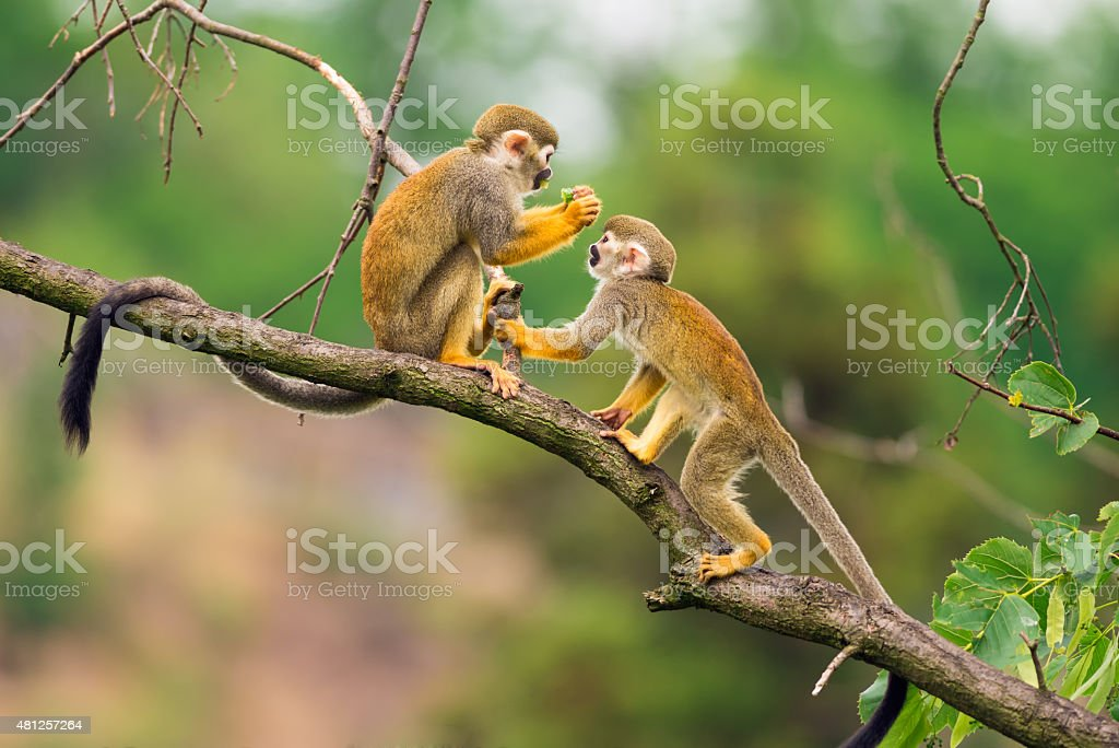 Common squirrel monkeys  playing on a tree branch stock photo