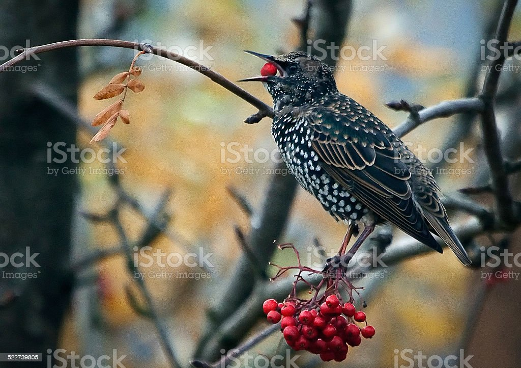 Common Starling Eating Berries. stock photo