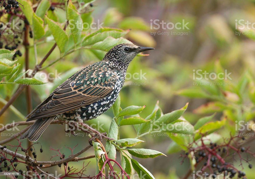 Common starling (Sturnus vulgaris) stock photo