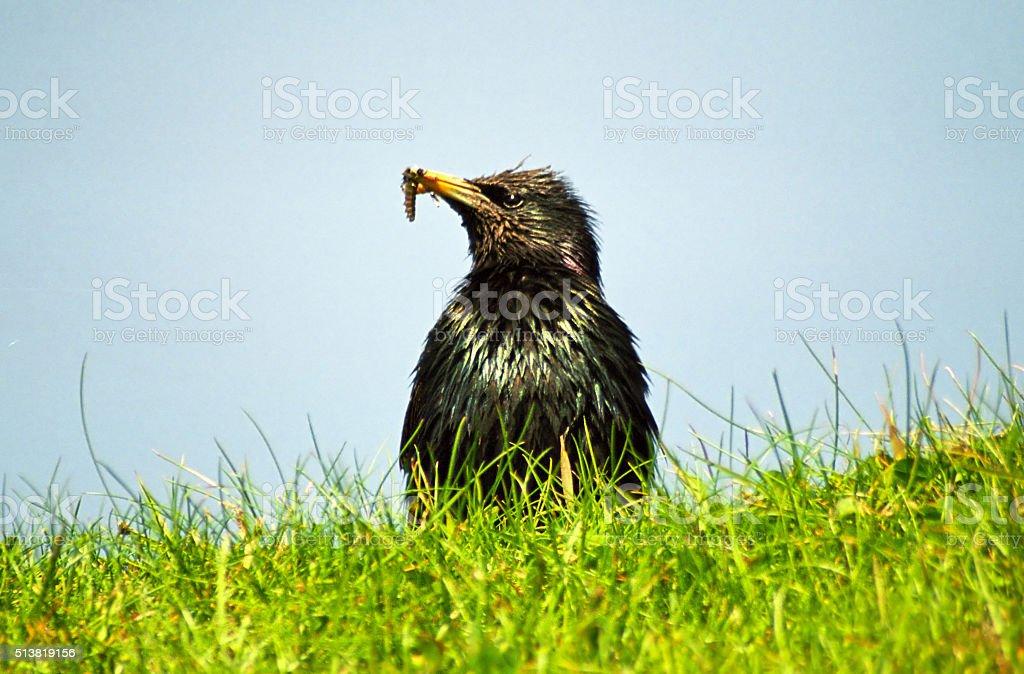 Common starling, Shetland stock photo