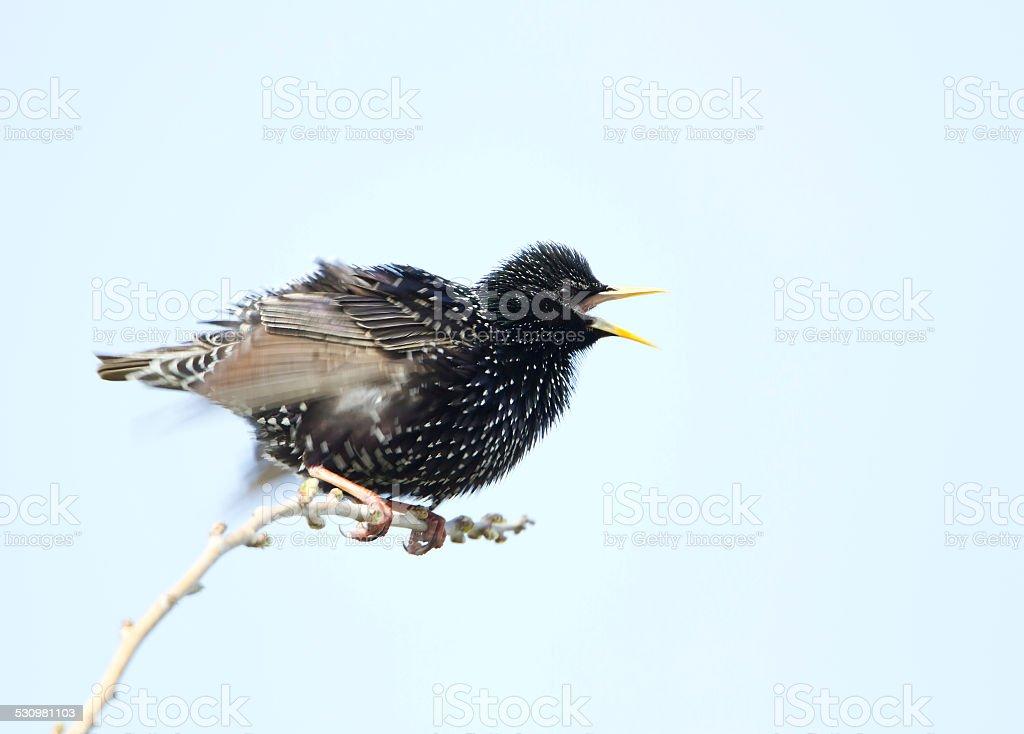 Common starling - Sturnus vulgaris stock photo