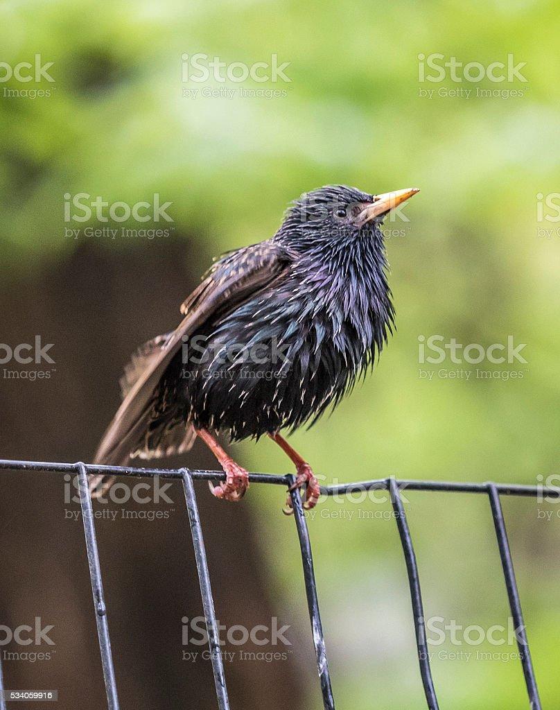 common starling ,Sturnus vulgaris stock photo