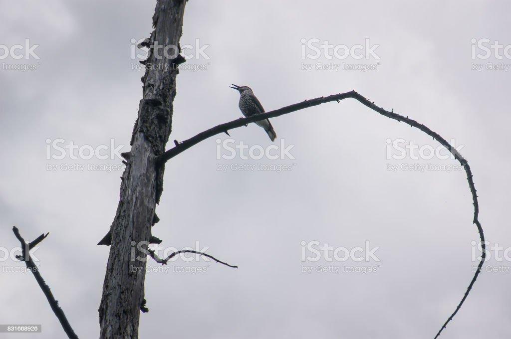 Common Starling, Sturnus vulgaris stock photo