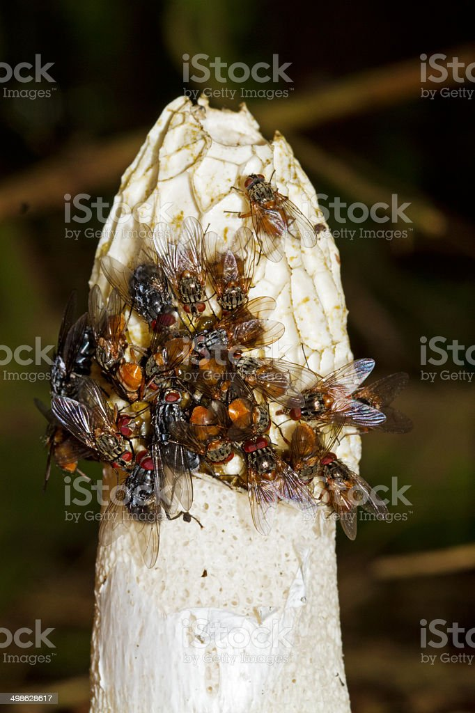 Common stinkhorn, covered with flies stock photo