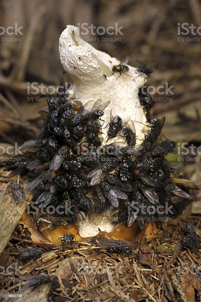 Common stinkhorn with flies stock photo
