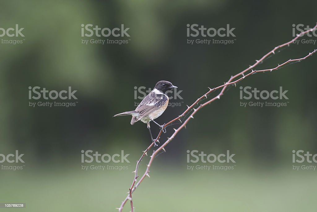 Common Stonechat (Saxicola torquata) stock photo