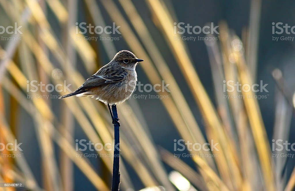 Common stonechat stock photo