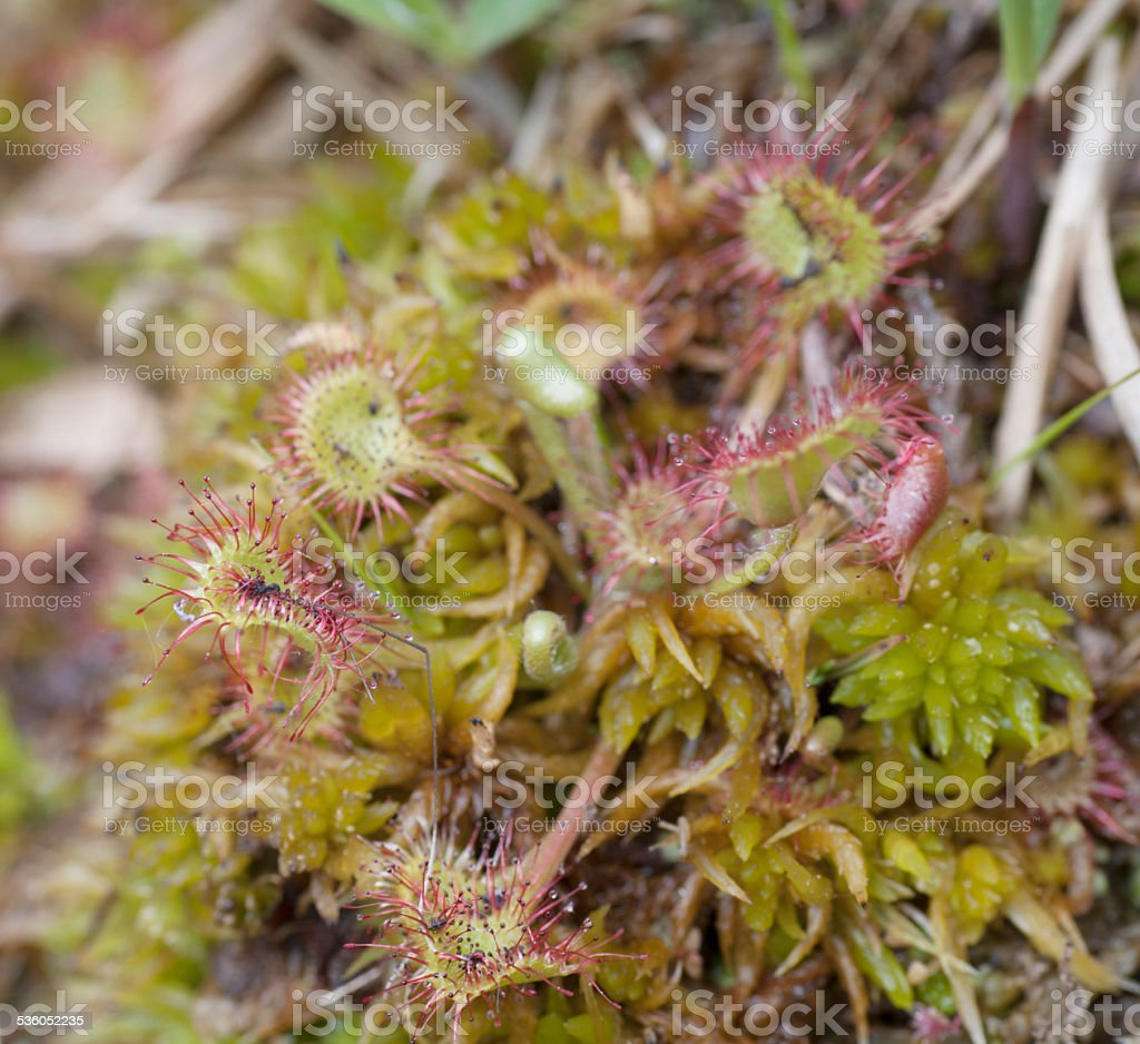 Common Sundew (Drosera rotundifolia) stock photo