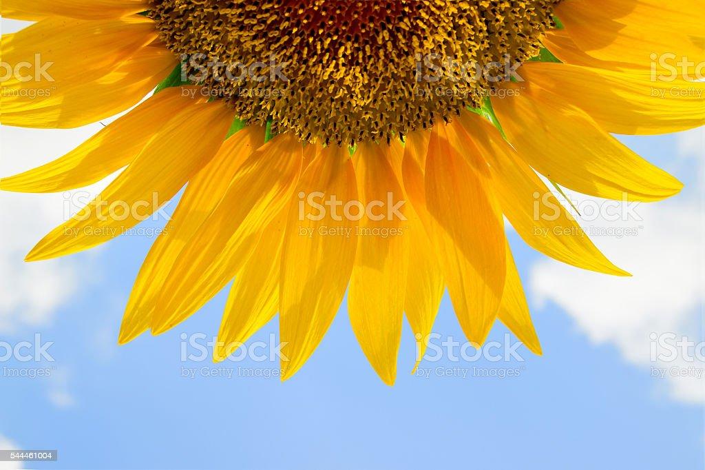 common sunflower (Helianthus annuus) stock photo