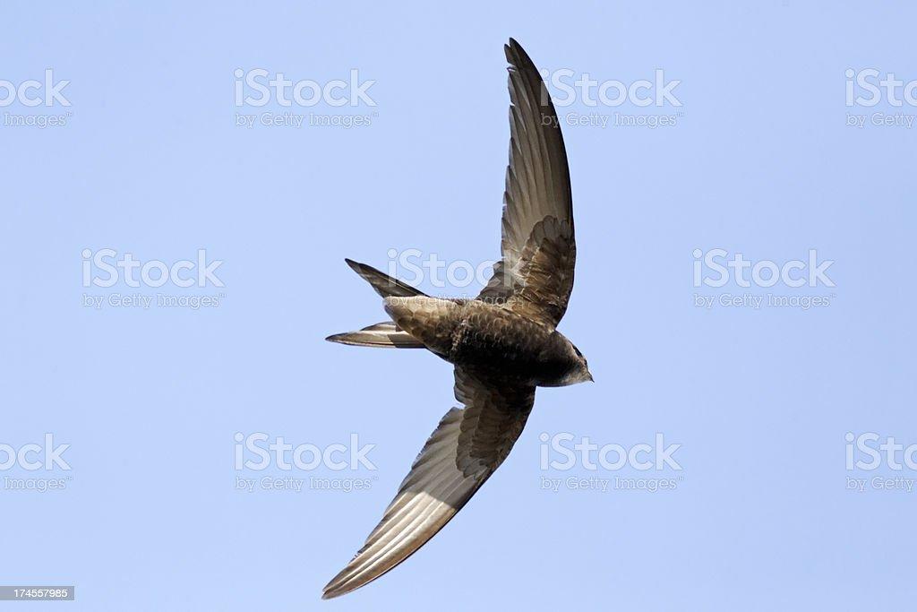 Common swift (Apus) on mid flight stock photo
