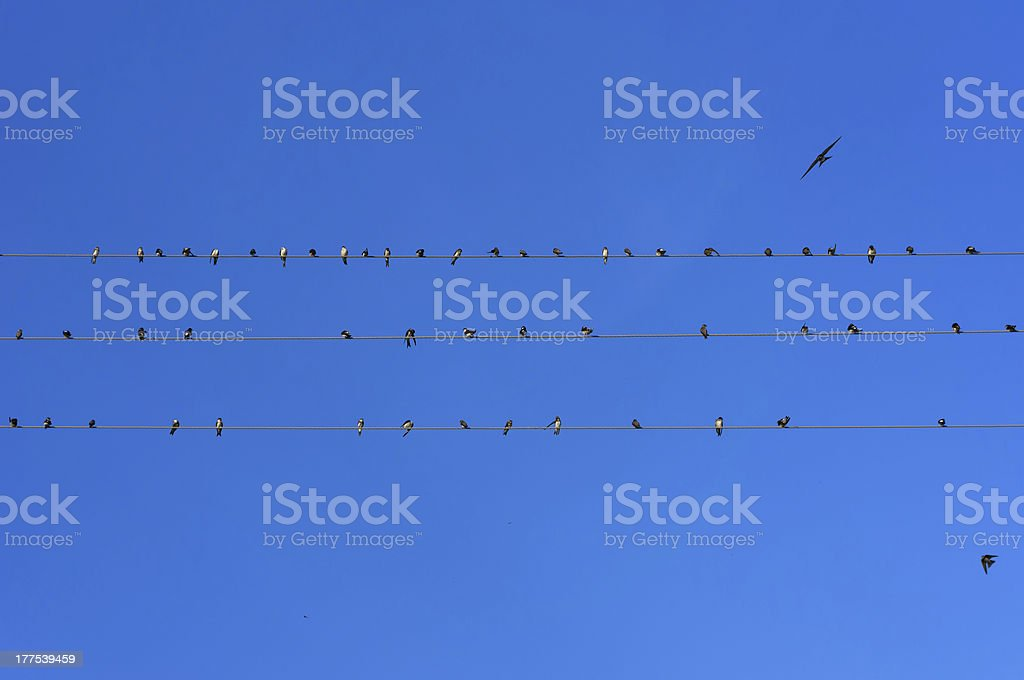 Common swifts on wires royalty-free stock photo