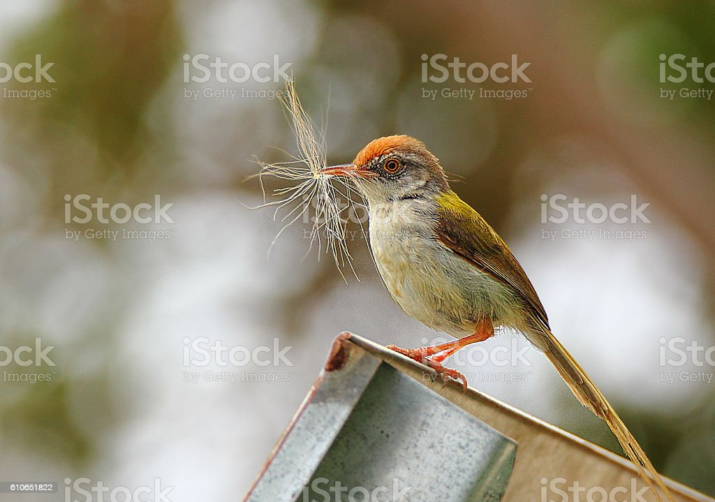 Common Tailor Bird stock photo
