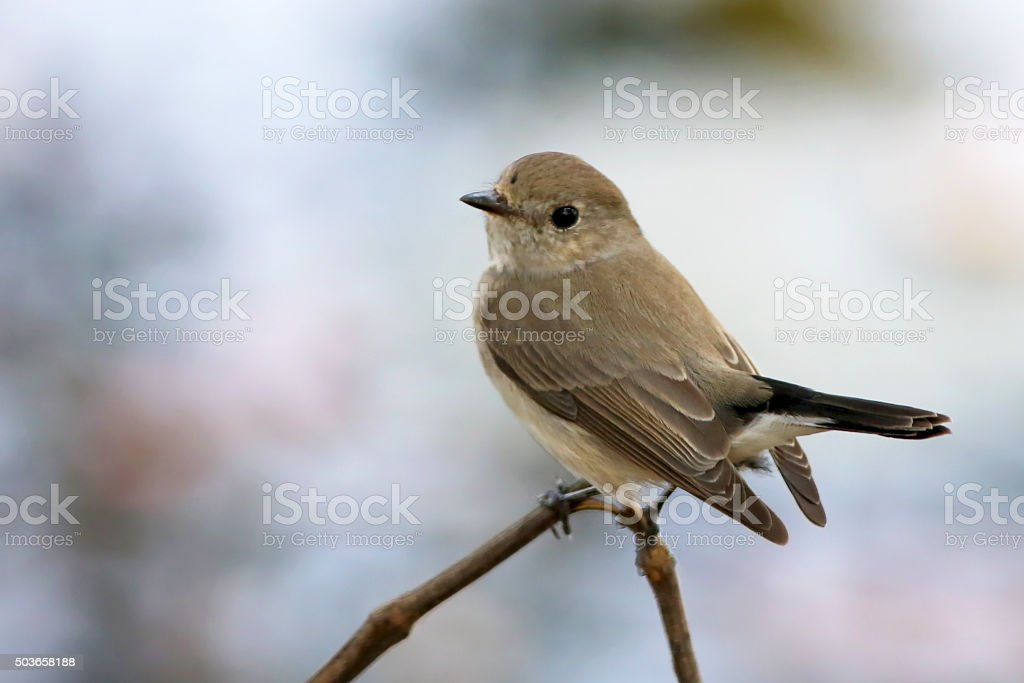 Common tailorbird in nature stock photo
