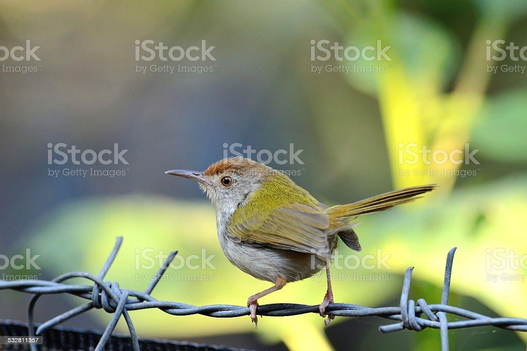 Common Tailorbird (Bird on the best perch) stock photo