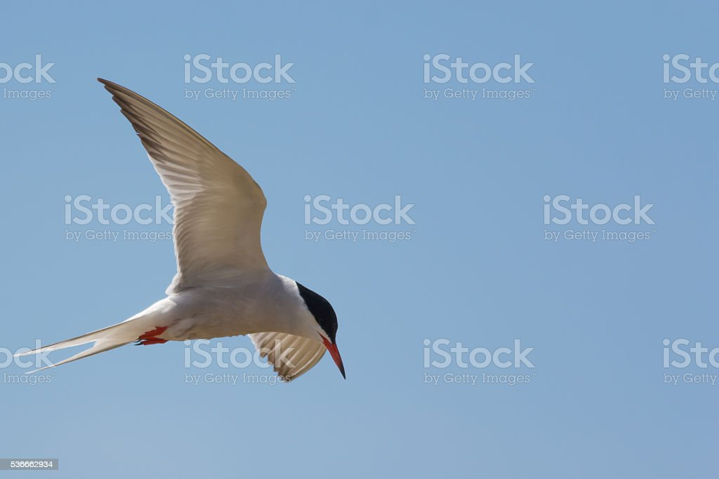 Common Tern flying by stock photo