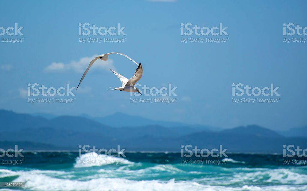Common tern hunting over the sea stock photo