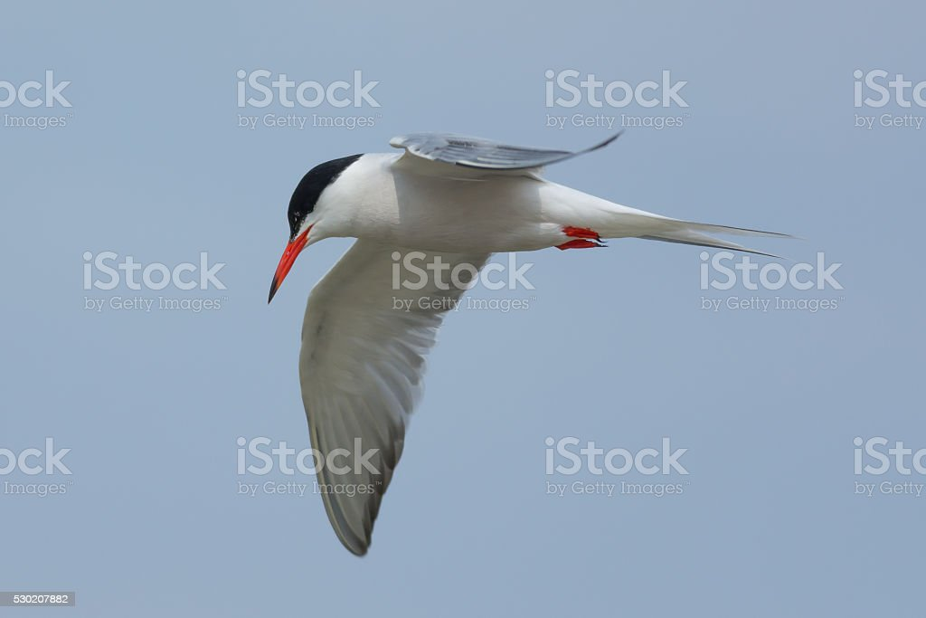 Common Tern in flight closeby stock photo