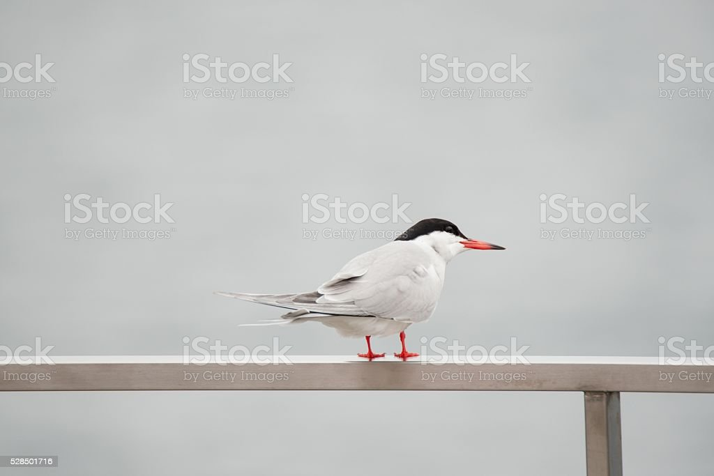 Common Tern in the Azores on Sao Miguel Island stock photo