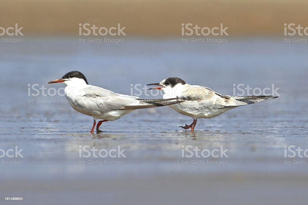 Common Tern (Sterna hirundo) royalty-free stock photo