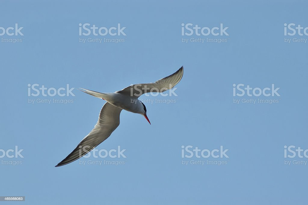 Common Tern royalty-free stock photo