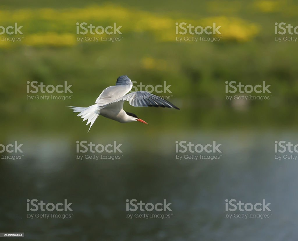 Common tern stock photo