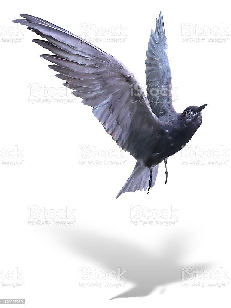 Pássaro Garajau-comum-do-mar em Vôo isolado sobre o branco foto de stock royalty-free