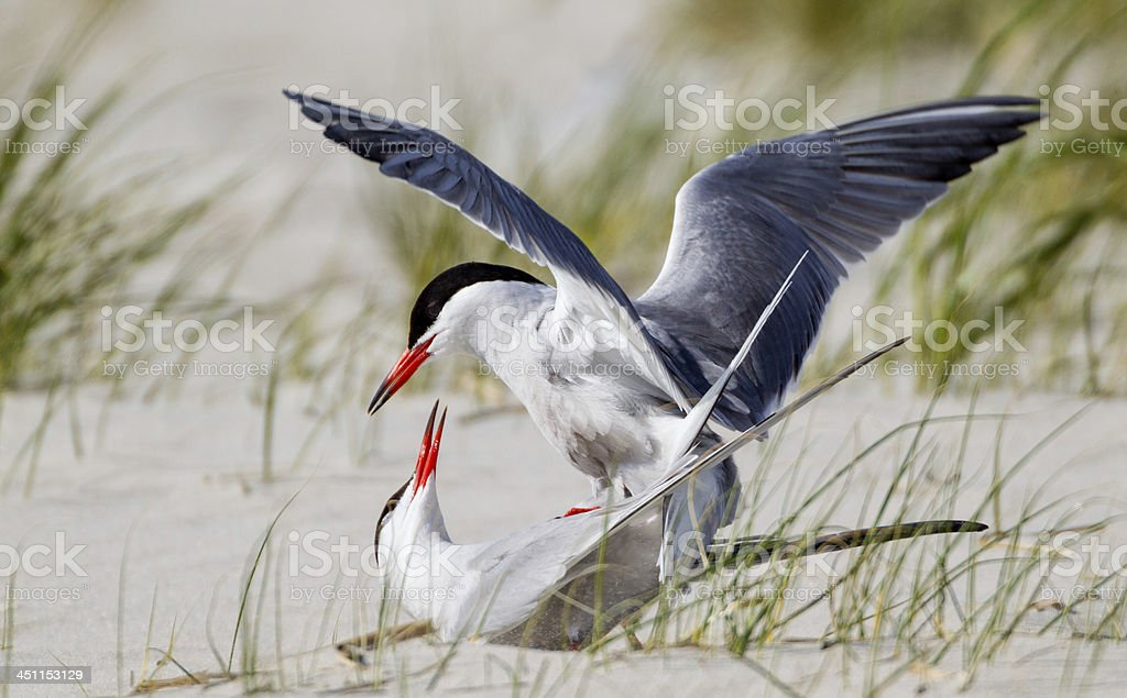 Common Terns Mating royalty-free stock photo