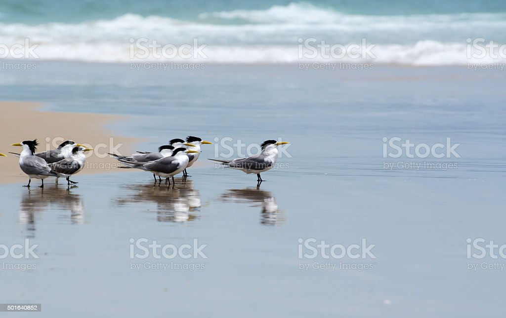 Common terns on the beach stock photo