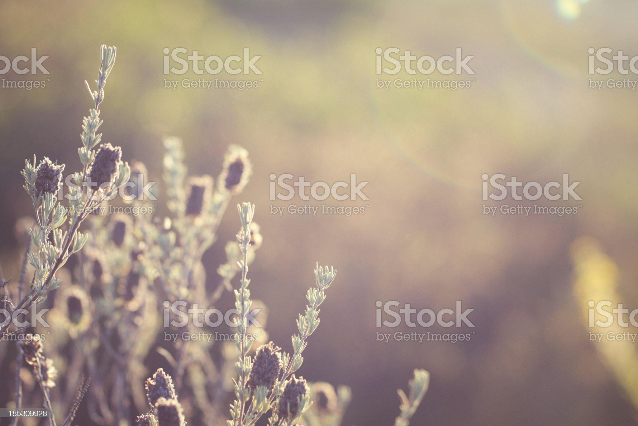 Common thyme [Thymus vulgaris] royalty-free stock photo