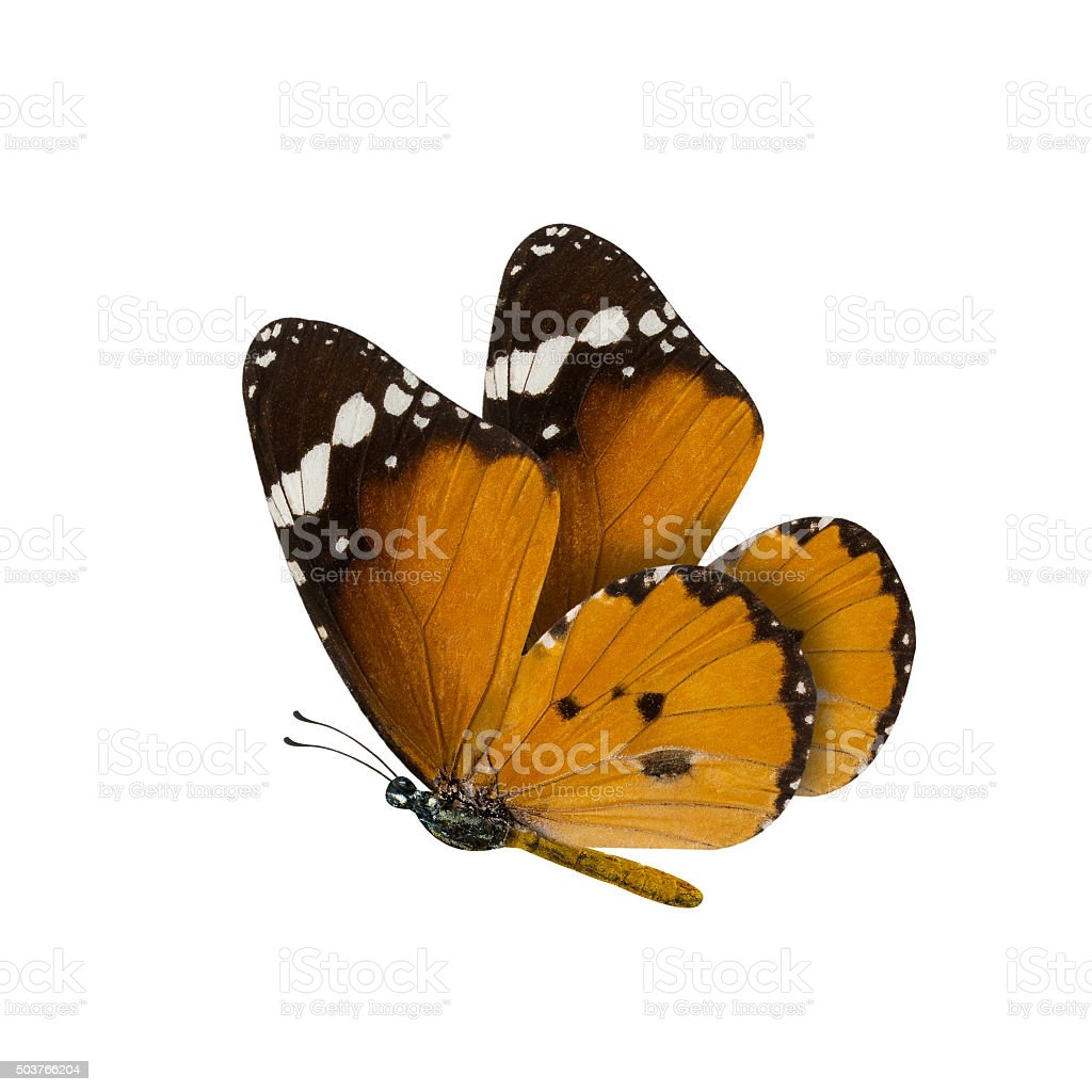 common tiger butterfly , Danaus Genutia , monarch butterfly isol stock photo