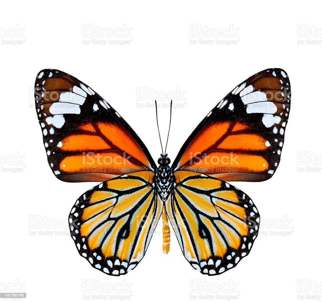 Common Tiger Butterfly lower wing profile in natural color isola stock photo