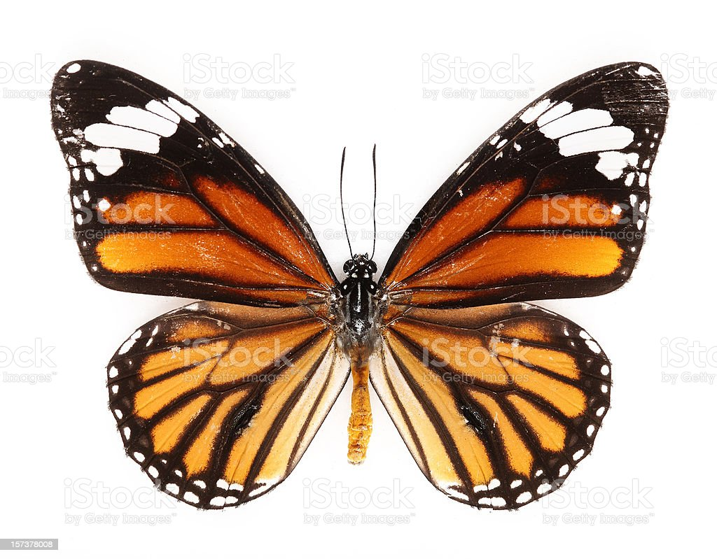 common tiger butterfly stock photo