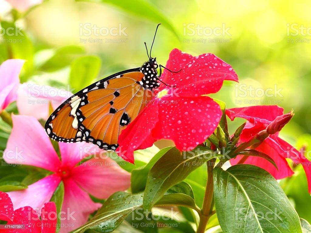 Common Tiger (Danaus genutia) butterfly. royalty-free stock photo