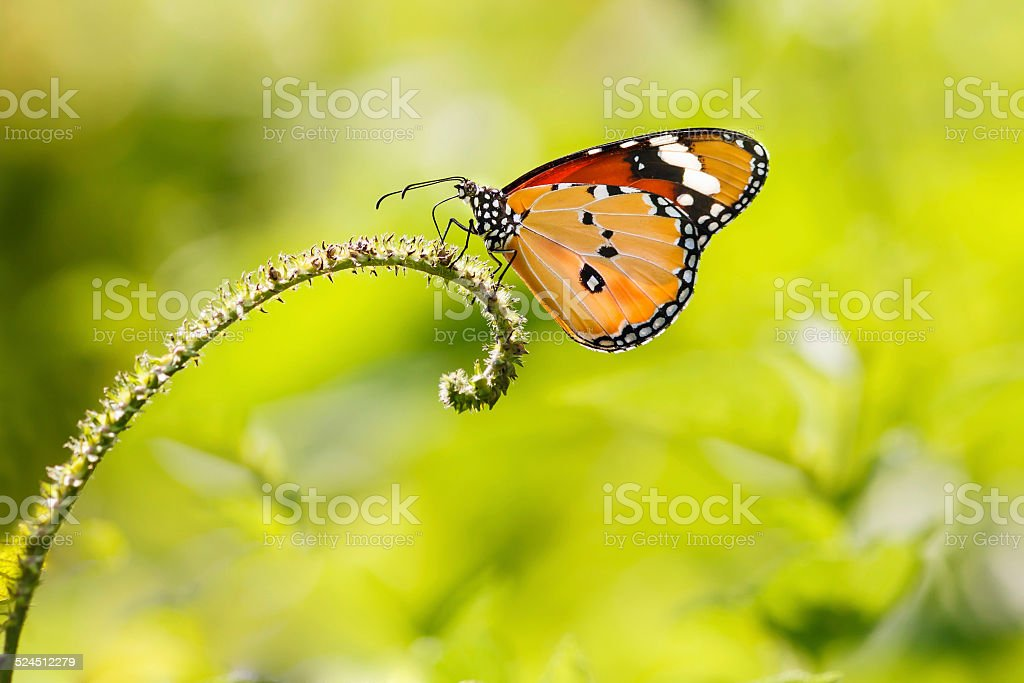 Common Tiger (Danaus genutia) Butterfly stock photo