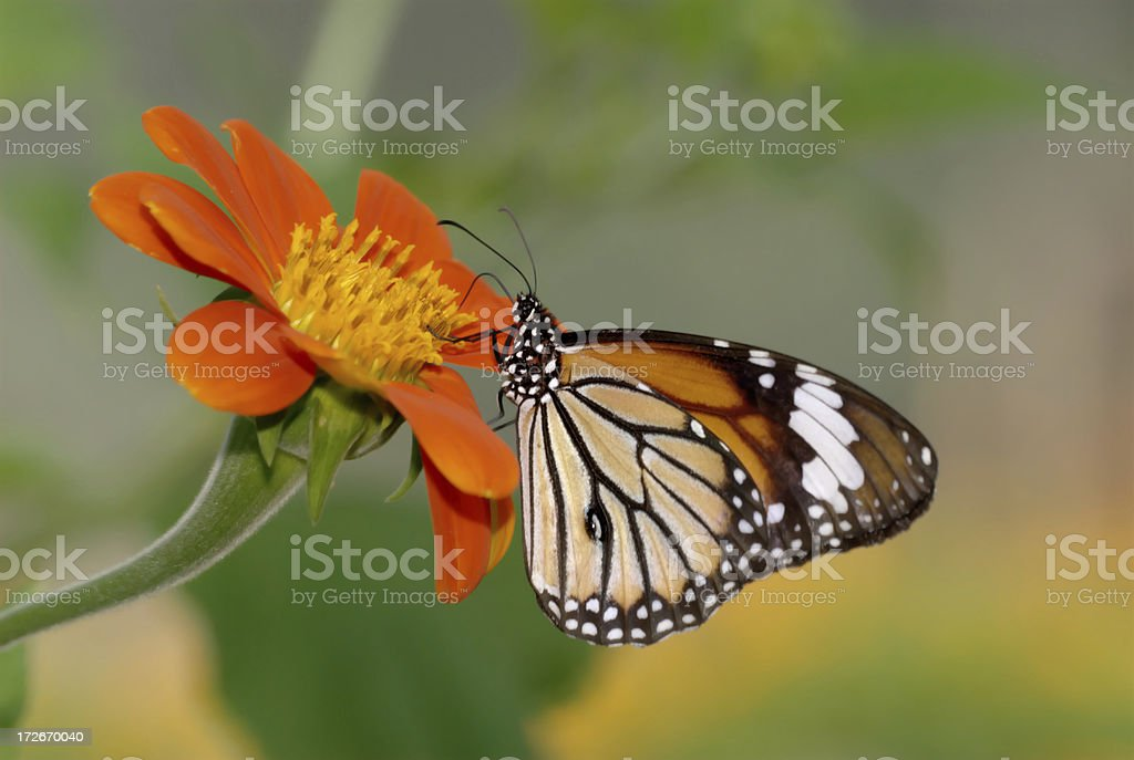 Common Tiger (Danaus genutia) of Thailand royalty-free stock photo