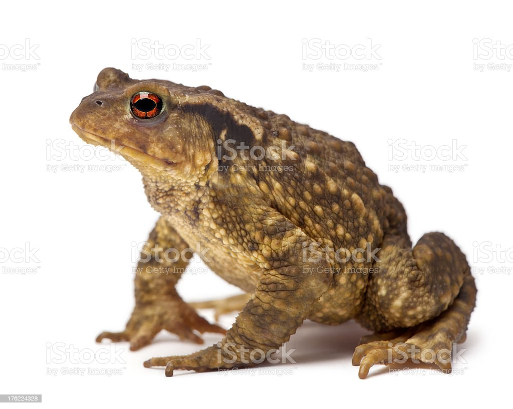 Common toad against white background stock photo