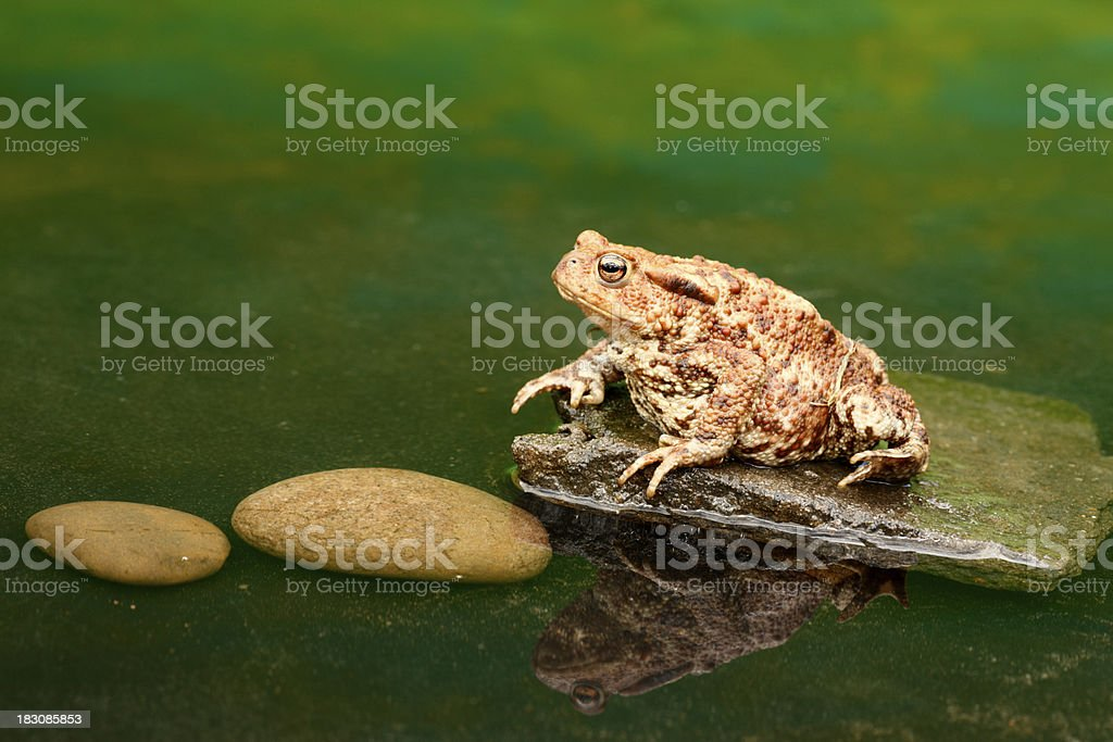 Common toad, Bufo buf stock photo