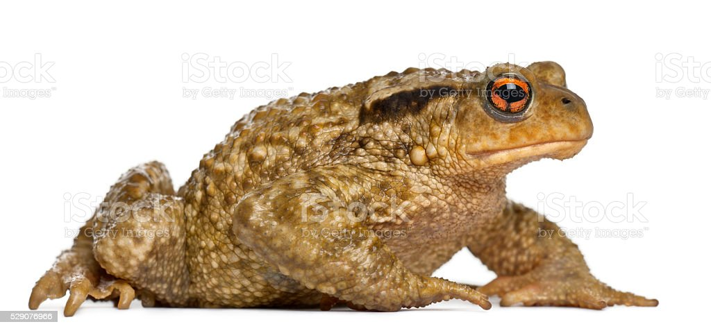 Common toad, bufo bufo, in front of white background stock photo