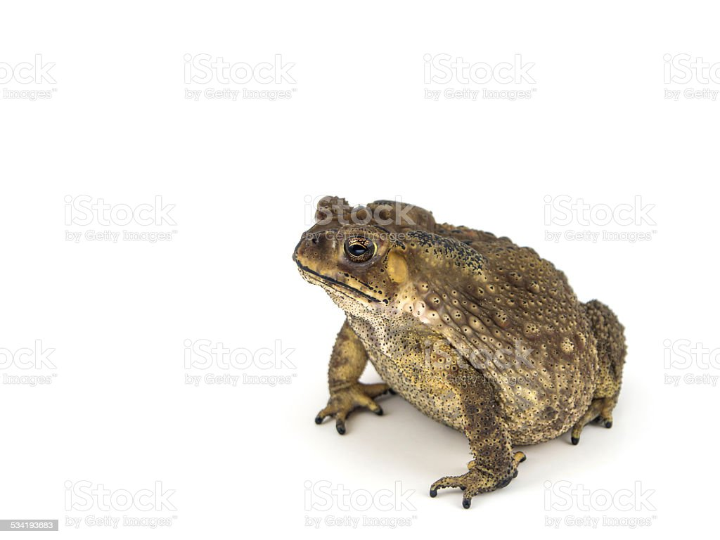Common toad, bufo bufo, isolated on white background stock photo