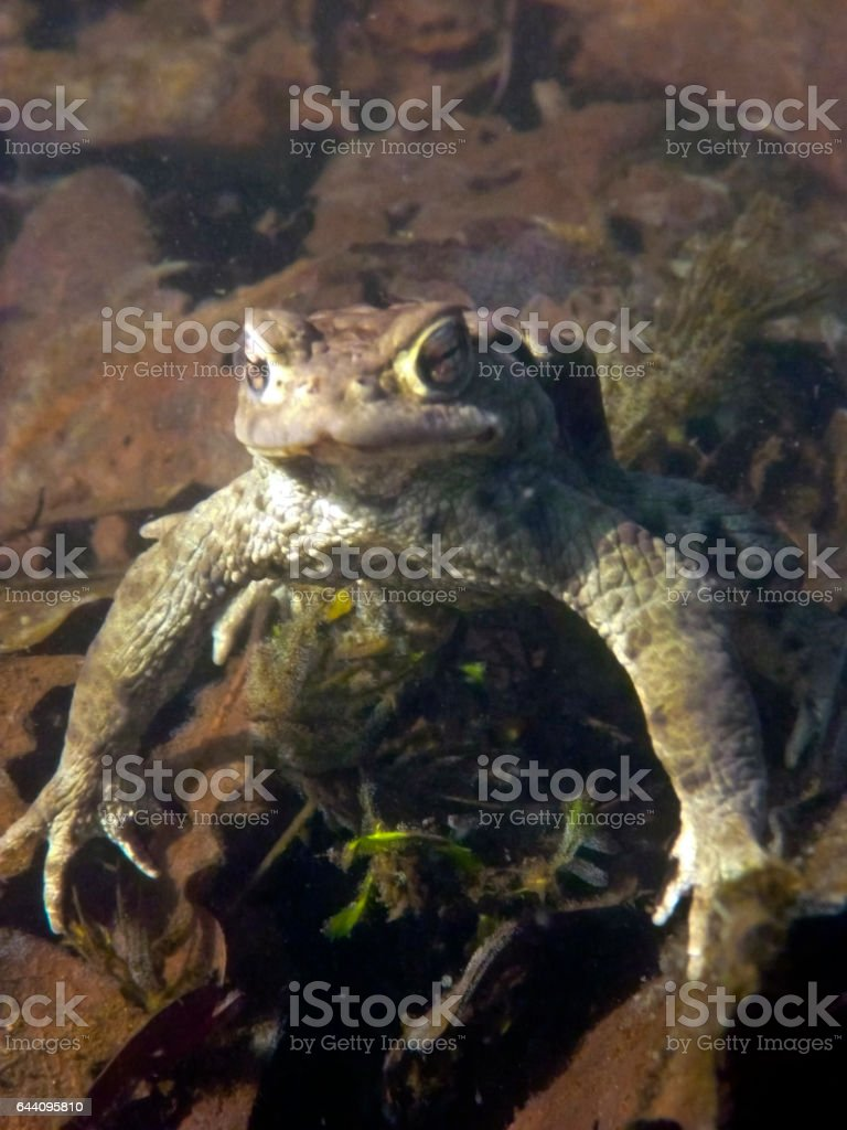 Common Toad Bufo Bufo stock photo